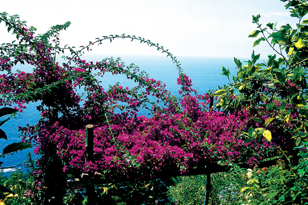Getti viola intenso di Bougainvillea spectabilis intrecciano la cupola lucida delle magnolie sottostanti